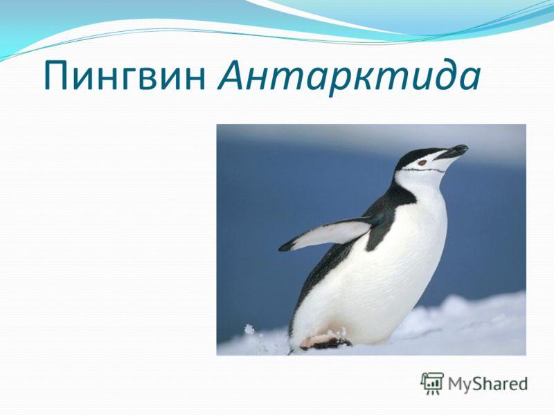 Пингвин Антарктида