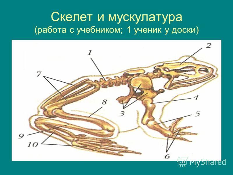 Скелет и мускулатура (работа с учебником; 1 ученик у доски)