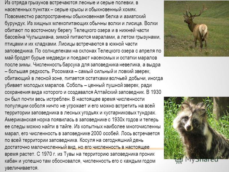 Животные Алтайского заповедника В фауне заповедника 73 вида млекопитающих, 310 птиц, 6 рептилий и 2 амфибии. К особо охраняемым насекомым Алтайского заповедника относят только галлоизиану Правдина, обитающую под камнями в хвойно-мелколиственных лесах