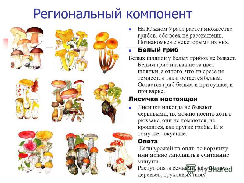 Региональный компонент На Южном Урале растет множество грибов, обо всех не расскажешь. Познакомься с некоторыми из них. Белый гриб Белых шляпок у белых грибов не бывает. Белым гриб назван не за цвет шляпки, а оттого, что на срезе не темнеет, а так и
