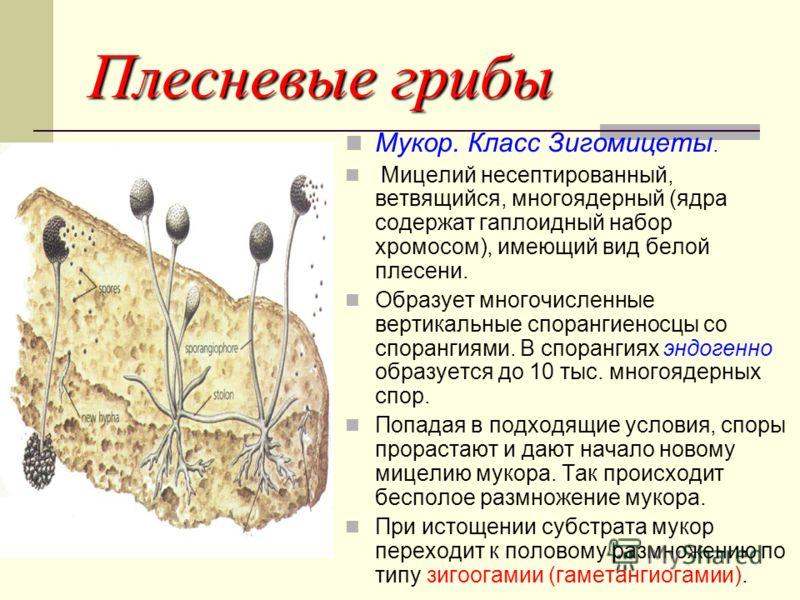 Плесневые грибы Мукор. Класс Зигомицеты. Мицелий несептированный, ветвящийся, многоядерный (ядра содержат гаплоидный набор хромосом), имеющий вид белой плесени. Образует многочисленные вертикальные спорангиеносцы со спорангиями. В спорангиях эндогенн