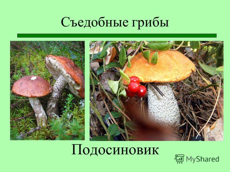 Съедобные грибы Подосиновик