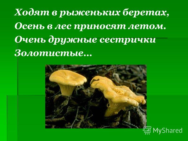 Ходят в рыженьких беретах, Осень в лес приносят летом. Очень дружные сестрички Золотистые…