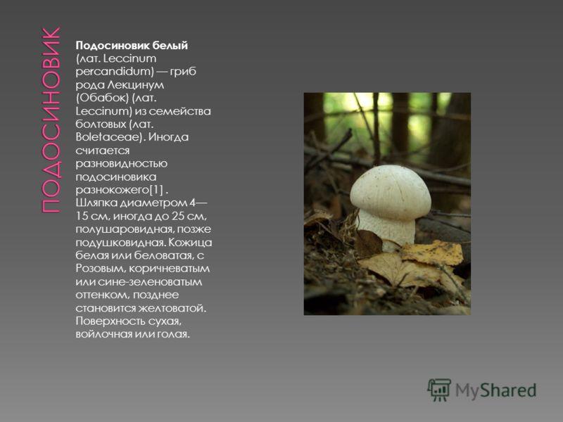 Подосиновик белый (лат. Leccinum percandidum) гриб рода Лекцинум (Обабок) (лат. Leccinum) из семейства болтовых (лат. Boletaceae). Иногда считается разновидностью подосиновика разнокожего[1]. Шляпка диаметром 4 15 см, иногда до 25 см, полушаровидная,