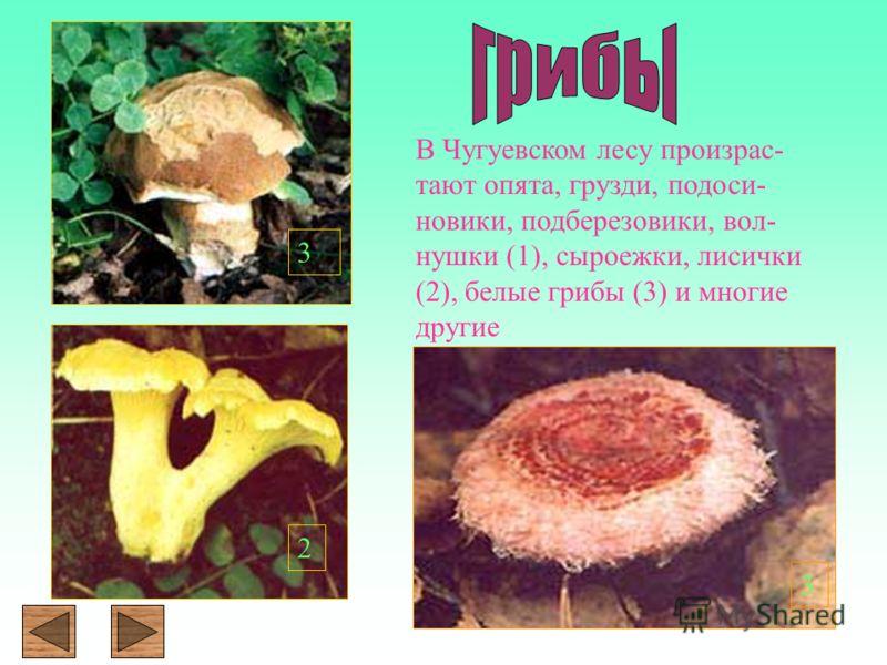 В Чугуевском лесу произрас- тают опята, грузди, подоси- новики, подберезовики, вол- нушки (1), сыроежки, лисички (2), белые грибы (3) и многие другие 3 2 3