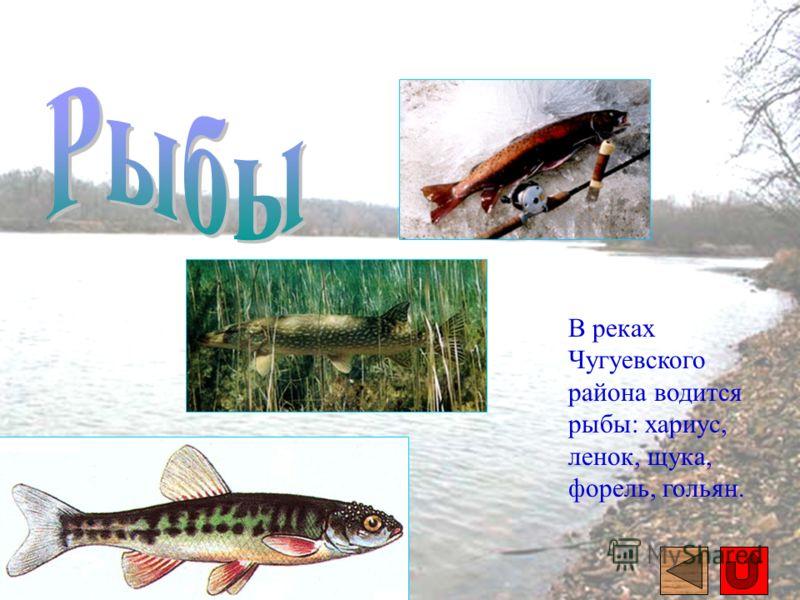 В реках Чугуевского района водится рыбы: хариус, ленок, щука, форель, гольян.