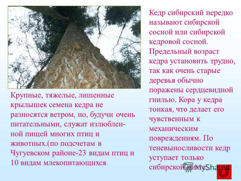 Кедр сибирский нередко называют сибирской сосной или сибирской кедровой сосной. Предельный возраст кедра установить трудно, так как очень старые деревья обычно поражены сердцевидной гнилью. Кора у кедра тонкая, что делает его чувственным к механическ
