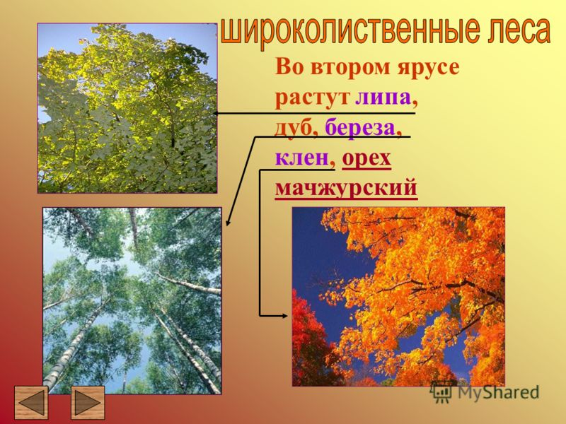 Во втором ярусе растут липа, дуб, береза, клен, орех мачжурскийорех мачжурский