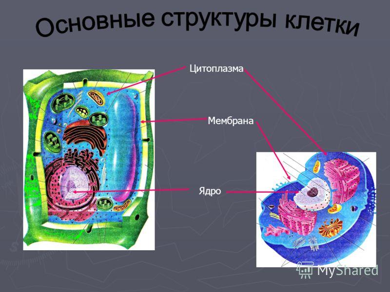 Цитоплазма Мембрана Ядро