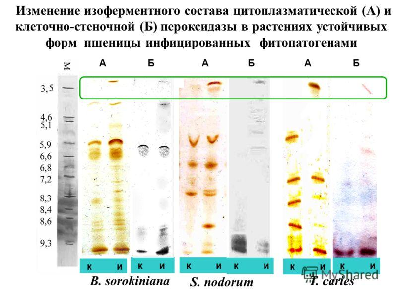 17 Изменение изоферментного состава цитоплазматической (А) и клеточно-стеночной (Б) пероксидазы в растениях устойчивых форм пшеницы инфицированных фитопатогенами к и А Б А Б А Б к и T. caries S. nodorum B. sorokiniana