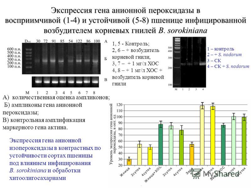 21 Экспрессия гена анионной пероксидазы в восприимчивой (1-4) и устойчивой (5-8) пшенице инфицированной возбудителем корневых гнилей В. sorokiniana А) количественная оценка ампликонов; Б) ампликоны гена анионной пероксидазы; В) контрольная амплификац
