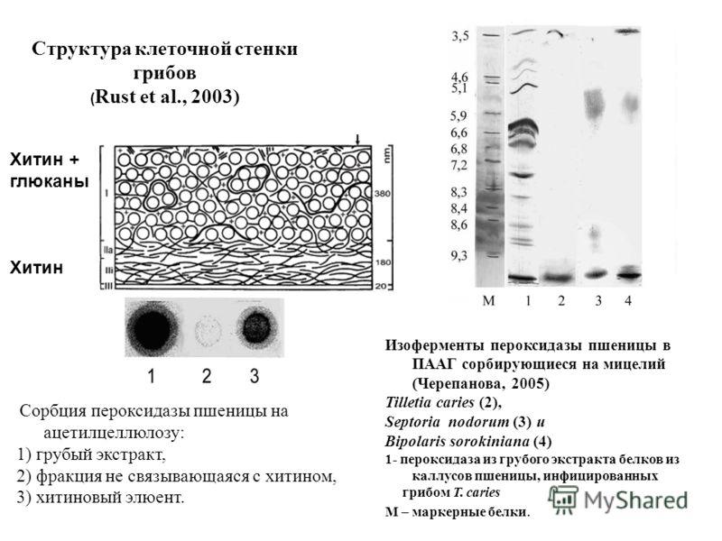 Структура клеточной стенки грибов ( Rust et al., 2003) Хитин + глюканы Хитин Изоферменты пероксидазы пшеницы в ПААГ сорбирующиеся на мицелий (Черепанова, 2005) Tilletia caries (2), Septoria nodorum (3) и Bipolaris sorokiniana (4) 1- пероксидаза из гр