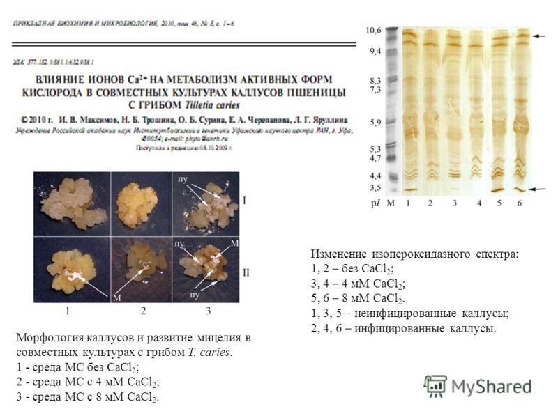 Морфология каллусов и развитие мицелия в совместных культурах с грибом T. caries. 1 - среда МС без CaCl 2 ; 2 - среда МС с 4 мМ CaCl 2 ; 3 - среда МС с 8 мМ CaCl 2. Изменение изопероксидазного спектра: 1, 2 – без CaCl 2 ; 3, 4 – 4 мМ CaCl 2 ; 5, 6 –