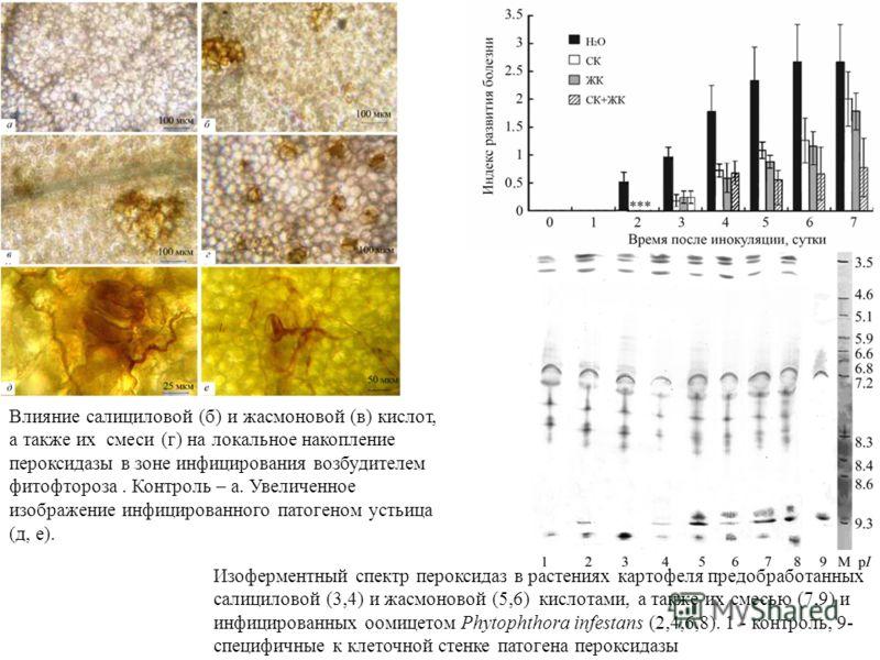 Влияние салициловой (б) и жасмоновой (в) кислот, а также их смеси (г) на локальное накопление пероксидазы в зоне инфицирования возбудителем фитофтороза. Контроль – а. Увеличенное изображение инфицированного патогеном устьица (д, е). Изоферментный спе