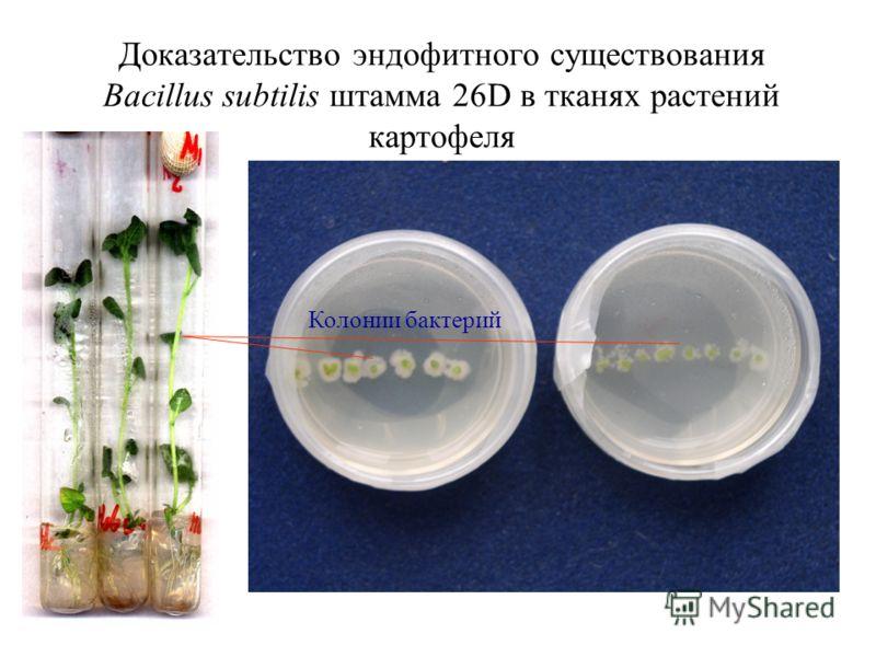 Доказательство эндофитного существования Bacillus subtilis штамма 26D в тканях растений картофеля Колонии бактерий