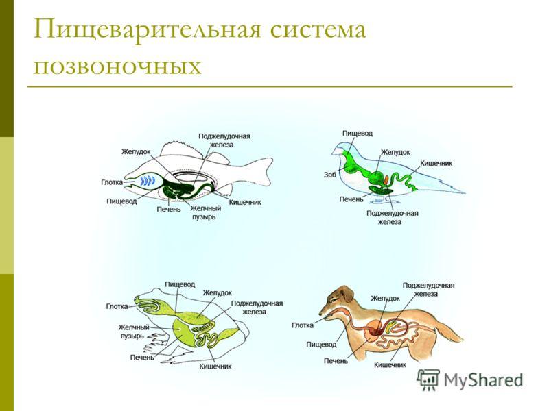 Пищеварительная система позвоночных