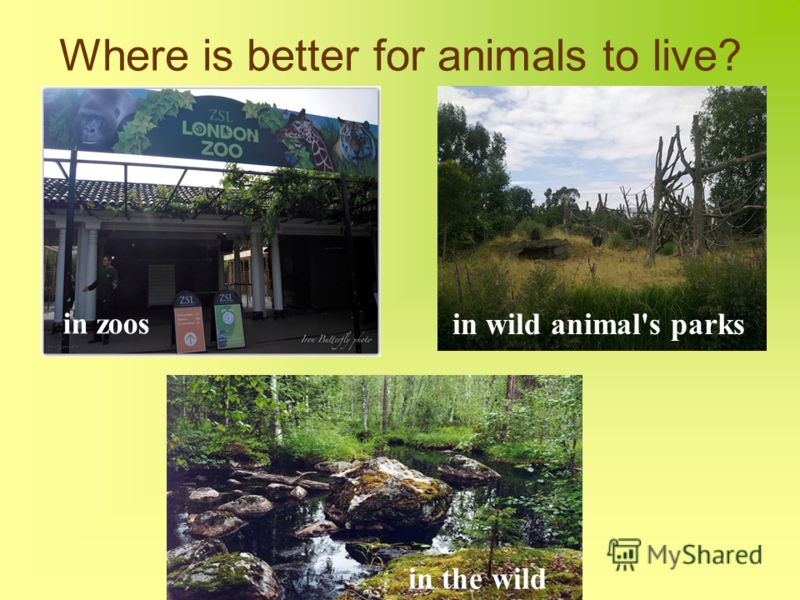 Where is better for animals to live? in zoos in wild animal's parks in the wild