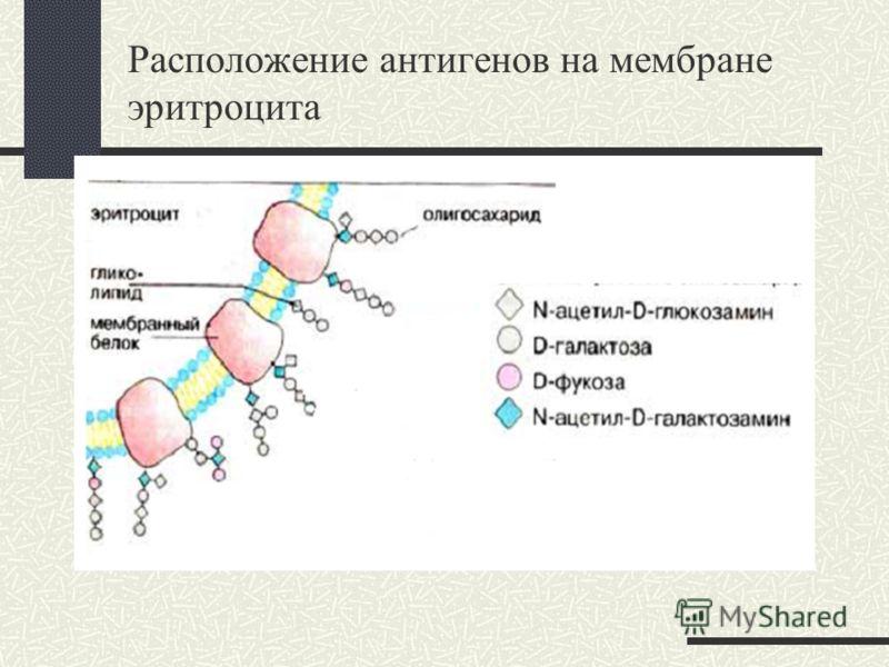 Расположение антигенов на мембране эритроцита