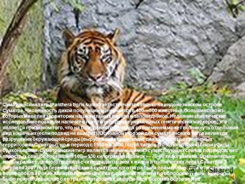 Суматранский тигр (Panthera tigris sumatrae) встречается только на индонезийском острове Суматра. Численность дикой популяции оценивается в 400500 животных, большинство из которых живёт на территории национальных парков и заповедников. Недавние генет