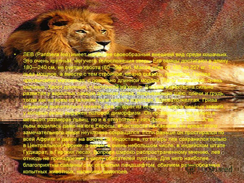 ЛЕВ (Panthera leo) имеет наиболее своеобразный внешний вид среди кошачьих. Это очень крупный, могучего телосложения зверь. Его самцы достигают в длину 180240 см, не считая хвоста (6090 см). Масса льва от 180 до 227 кг. Тело льва мощное, а вместе с те
