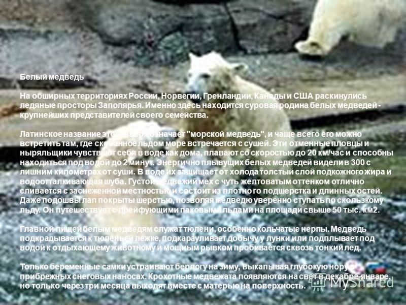 Белый медведь На обширных территориях России, Норвегии, Гренландии, Канады и США раскинулись ледяные просторы Заполярья. Именно здесь находится суровая родина белых медведей - крупнейших представителей своего семейства. Латинское название этого зверя