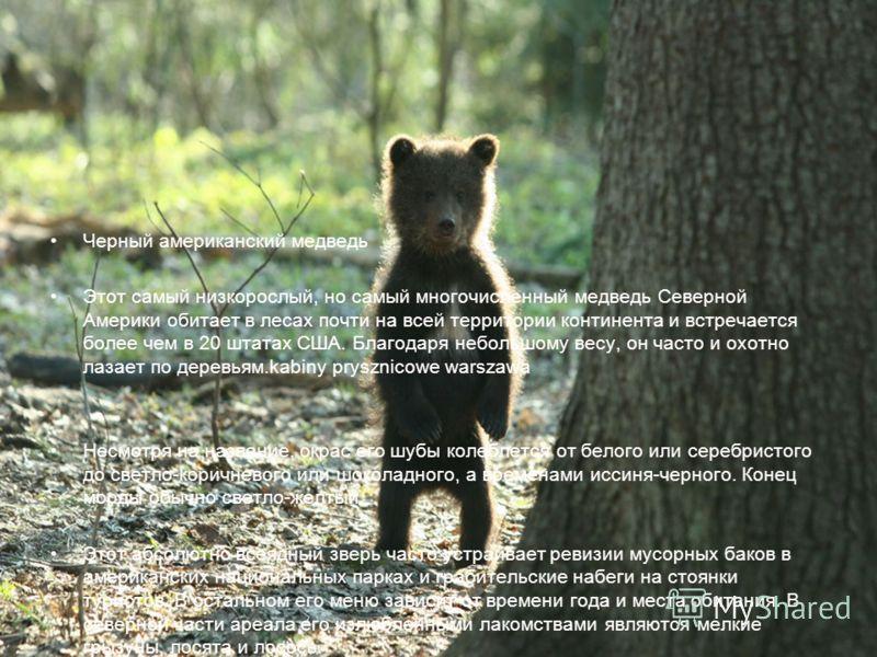 Черный американский медведь Этот самый низкорослый, но самый многочисленный медведь Северной Америки обитает в лесах почти на всей территории континента и встречается более чем в 20 штатах США. Благодаря небольшому весу, он часто и охотно лазает по д