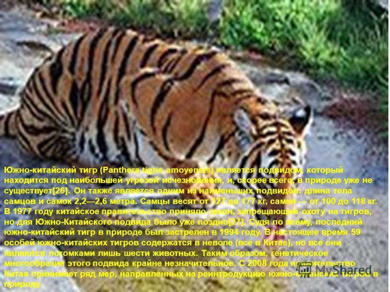 Южно-китайский тигр (Panthera tigris amoyensis) является подвидом, который находится под наибольшей угрозой исчезновения, и, скорее всего, в природе уже не существует[26]. Он также является одним из наименьших подвидов: длина тела самцов и самок 2,22