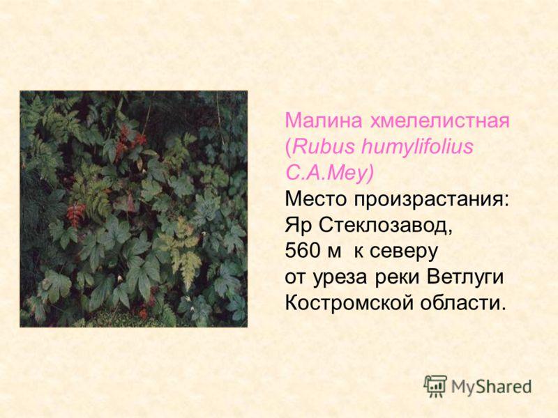 Малина хмелелистная (Rubus humylifolius C.A.Mey) Место произрастания: Яр Стеклозавод, 560 м к северу от уреза реки Ветлуги Костромской области.