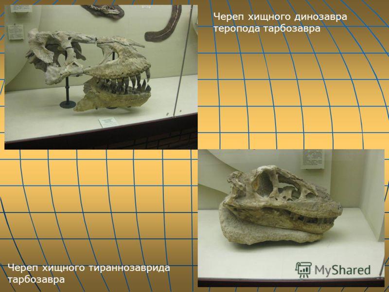 Череп хищного динозавра теропода тарбозавра Череп хищного тираннозаврида тарбозавра