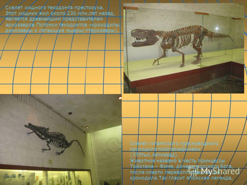 Скелет хищного текодонта престозуха. Этот хищник жил около 230 млн.лет назад, является древнейшим представителем архозавров.Потомки текодонтов –крокодилы, динозавры и летающие ящеры(птерозавры). Скелет гигантского пресноводного крокодила тойотамафиме