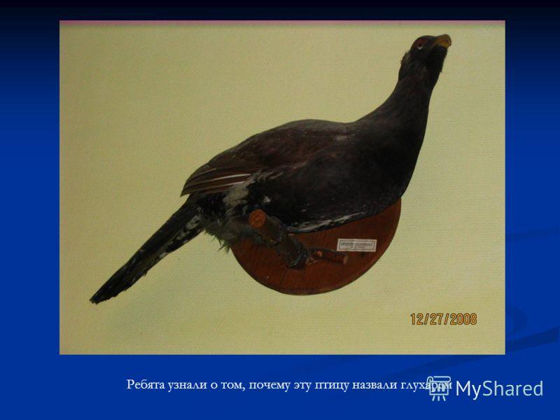 Ребята узнали о том, почему эту птицу назвали глухарем