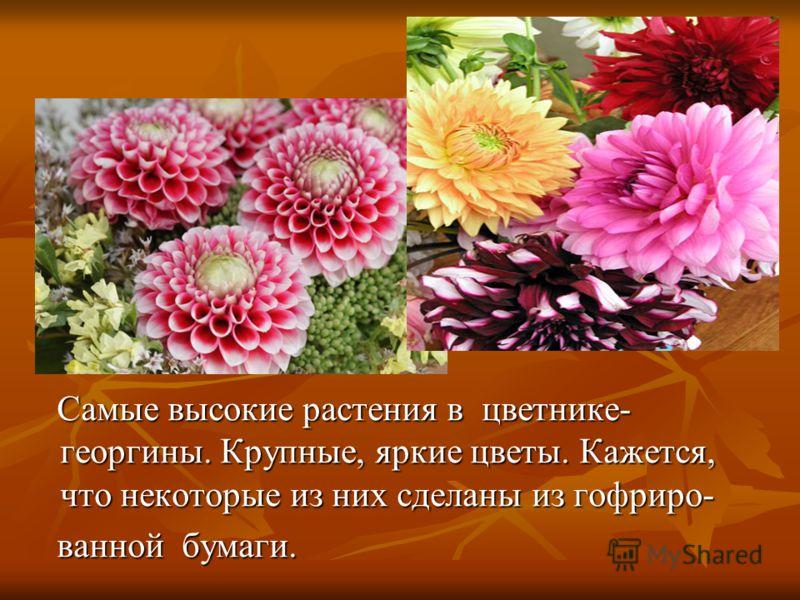 Самые высокие растения в цветнике- георгины. Крупные, яркие цветы. Кажется, что некоторые из них сделаны из гофриро- Самые высокие растения в цветнике- георгины. Крупные, яркие цветы. Кажется, что некоторые из них сделаны из гофриро- ванной бумаги. в
