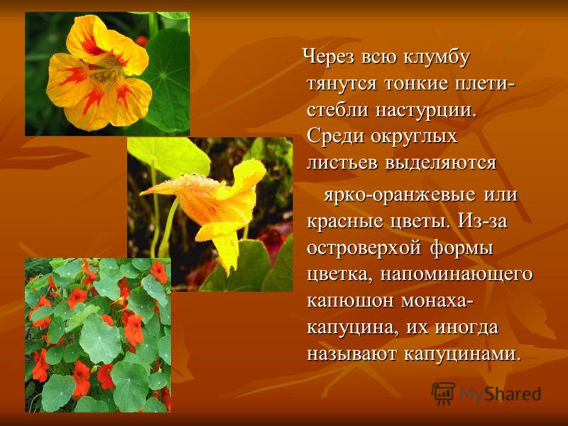 Через всю клумбу тянутся тонкие плети- стебли настурции. Среди округлых листьев выделяются Через всю клумбу тянутся тонкие плети- стебли настурции. Среди округлых листьев выделяются ярко-оранжевые или красные цветы. Из-за островерхой формы цветка, на