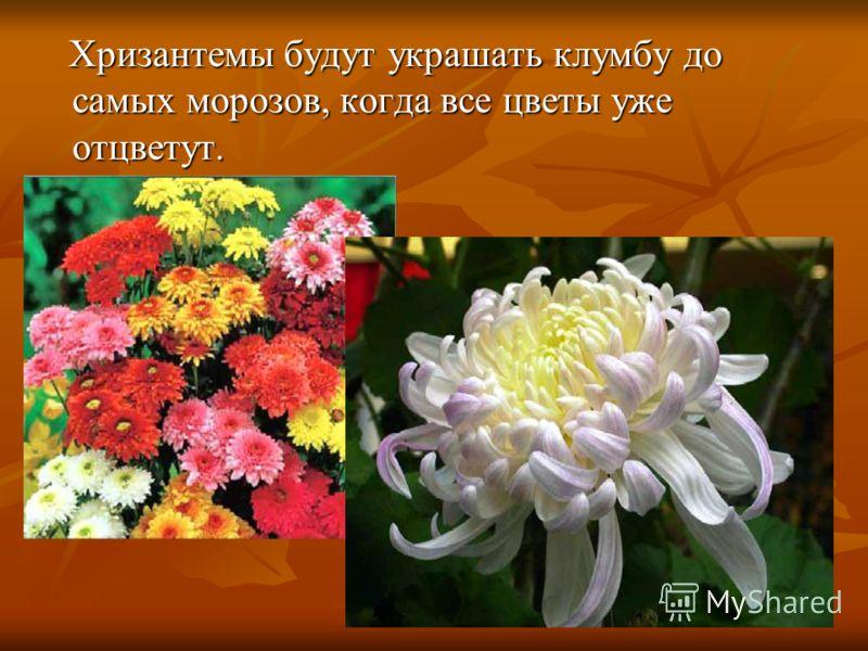 Хризантемы будут украшать клумбу до самых морозов, когда все цветы уже отцветут. Хризантемы будут украшать клумбу до самых морозов, когда все цветы уже отцветут.