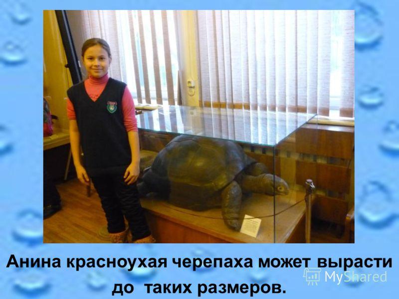 Анина красноухая черепаха может вырасти до таких размеров.