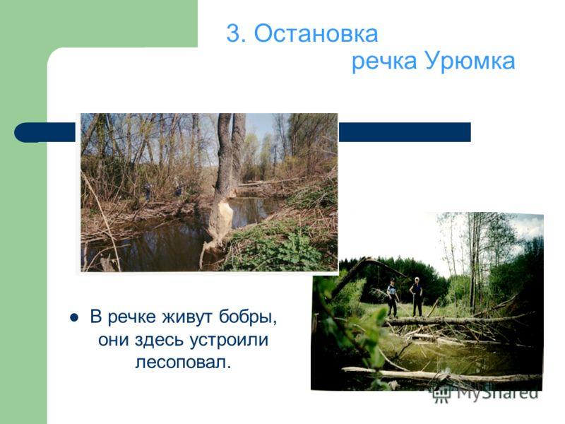 3. Остановка речка Урюмка В речке живут бобры, они здесь устроили лесоповал.