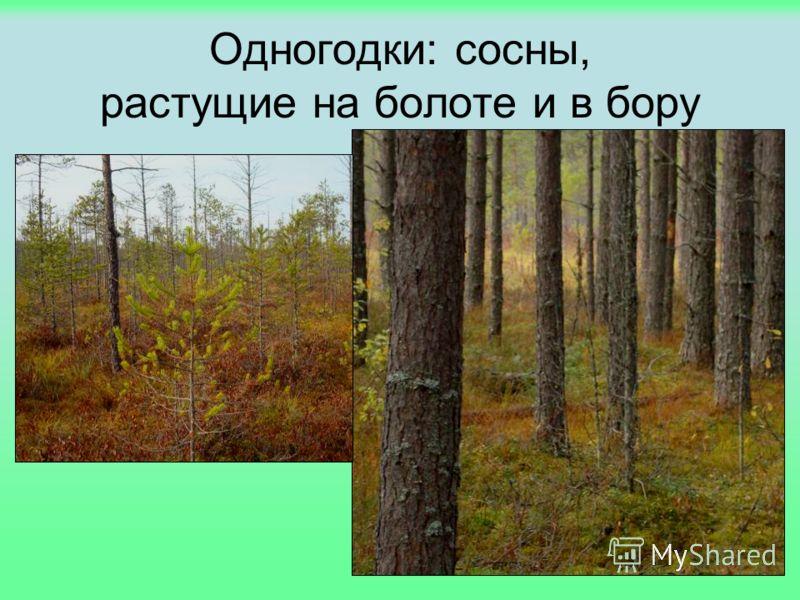 Одногодки: сосны, растущие на болоте и в бору