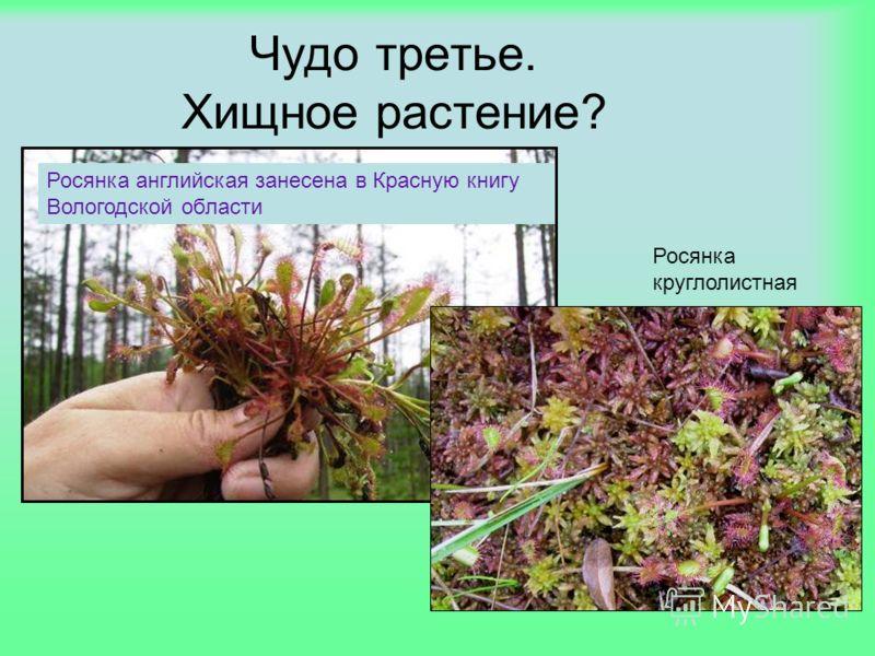 Чудо третье. Хищное растение? Росянка английская занесена в Красную книгу Вологодской области Росянка круглолистная