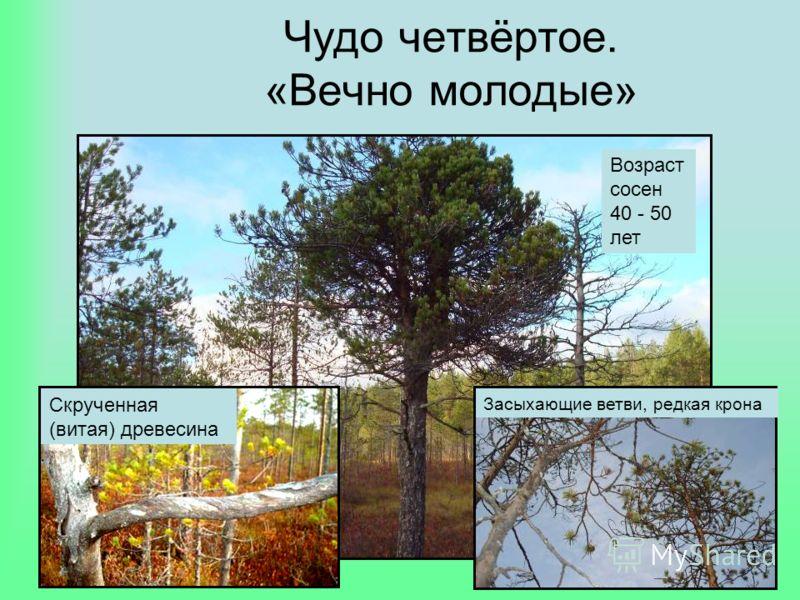 Чудо четвёртое. «Вечно молодые» Возраст сосен 40 - 50 лет Засыхающие ветви, редкая крона Скрученная (витая) древесина