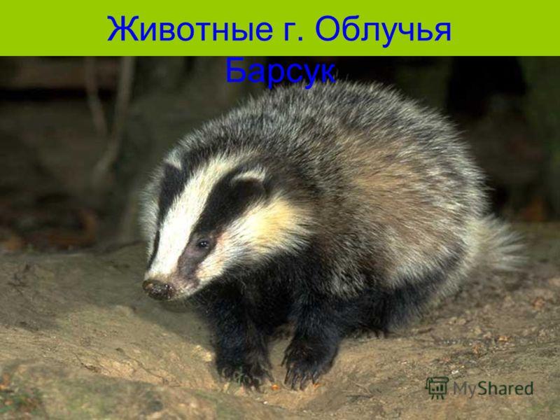 Животные г. Облучья Барсук