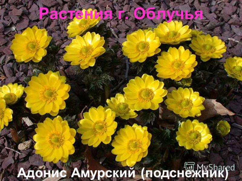 Растения г. Облучья Адонис Амурский (подснежник)