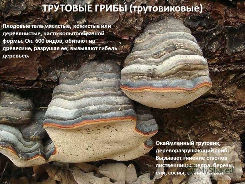 ТРУ́ТОВЫЕ ГРИБЫ́ (трутовиковые) Плодовые тела мясистые, кожистые или деревянистые, часто копытообразной формы. Ок. 600 видов, обитают на древесине, разрушая ее; вызывают гибель деревьев. Окаймленный трутовик, дереворазрушающий гриб. Вызывает гниение