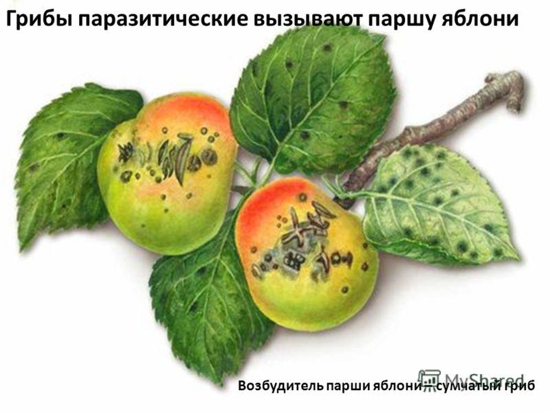 Возбудитель парши яблони – сумчатый гриб Грибы паразитические вызывают паршу яблони
