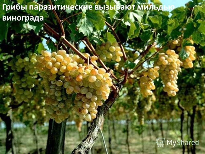 Грибы паразитические вызывают мильдью винограда