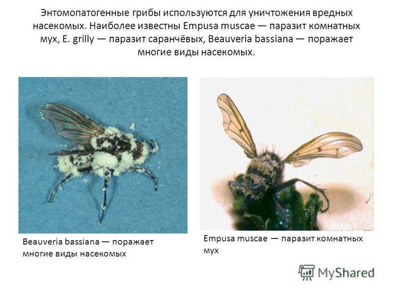 Энтомопатогенные грибы используются для уничтожения вредных насекомых. Наиболее известны Empusa muscae паразит комнатных мух, Е. grilly паразит саранчёвых, Beauveria bassiana поражает многие виды насекомых. Empusa muscae паразит комнатных мух Beauver