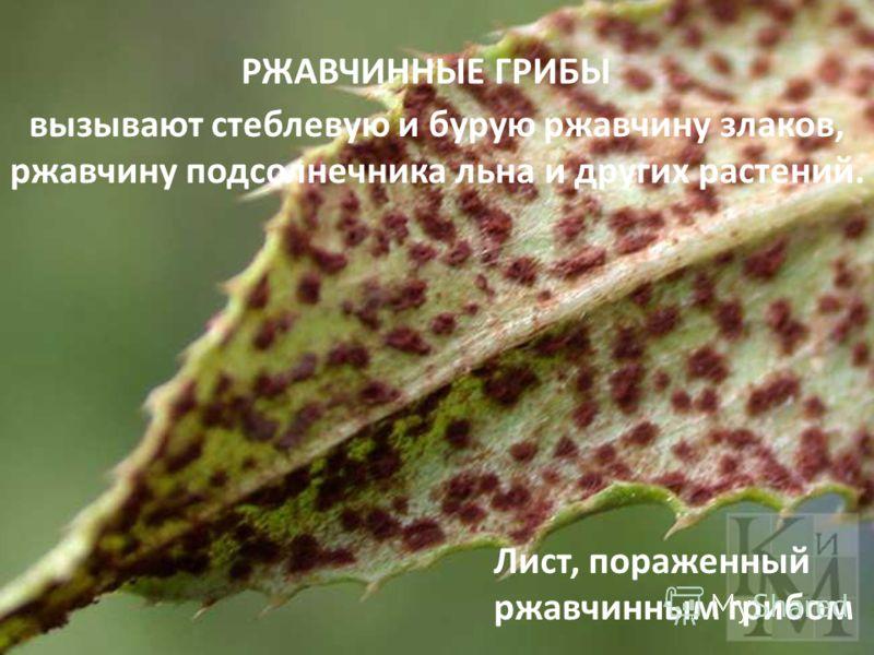 РЖАВЧИННЫЕ ГРИБЫ вызывают стеблевую и бурую ржавчину злаков, ржавчину подсолнечника льна и других растений. Лист, пораженный ржавчинным грибом