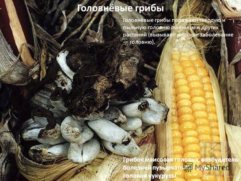Грибок маисовая головня, возбудитель болезней пузырчатой и пыльной головни кукурузы. Головнёвые грибы Головнёвые грибы поражают твёрдую и пыльную головню пшеницы и других растений (вызывают опасное заболевание головню).