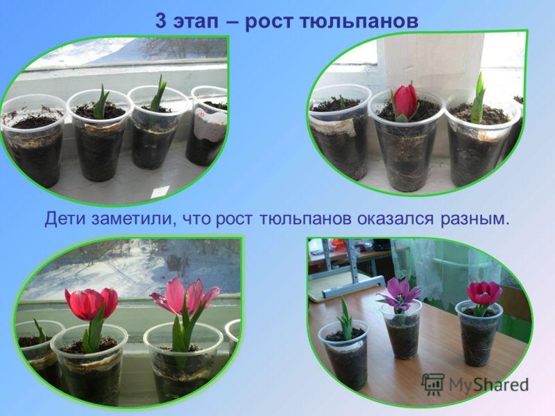 3 этап – рост тюльпанов Дети заметили, что рост тюльпанов оказался разным.