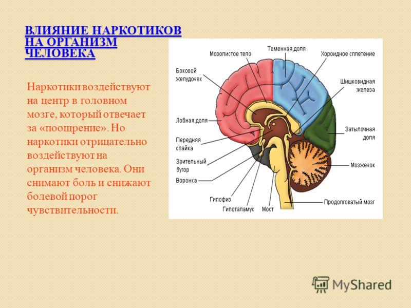 ВЛИЯНИЕ НАРКОТИКОВ НА ОРГАНИЗМ ЧЕЛОВЕКА Наркотики воздействуют на центр в головном мозге, который отвечает за «поощрение». Но наркотики отрицательно воздействуют на организм человека. Они снимают боль и снижают болевой порог чувствительности.