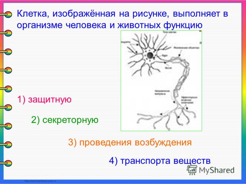 Клетка, изображённая на рисунке, выполняет в организме человека и животных функцию 1) защитную 2) секреторную 3) проведения возбуждения 4) транспорта веществ